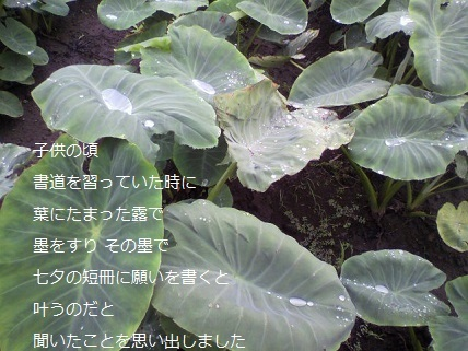 芋の葉の雫.jpg